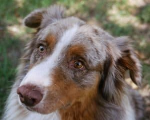 Australian shepherd dog training